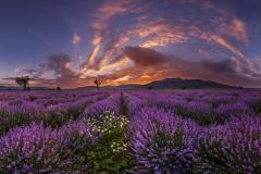 """""""Lavender sea"""""""